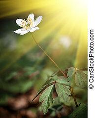 Anemone sylvestris - First spring flowers. Anemone ...