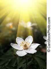 Anemone sylvestris - First spring flowers i sun light. ...