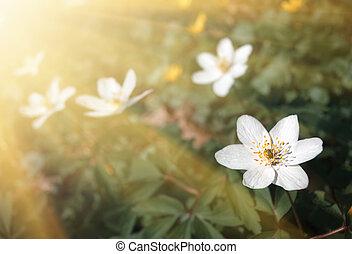 Anemone sylvestris - First spring flowers in sun light. ...