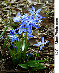 siberian squill - first spring flowers siberian squill