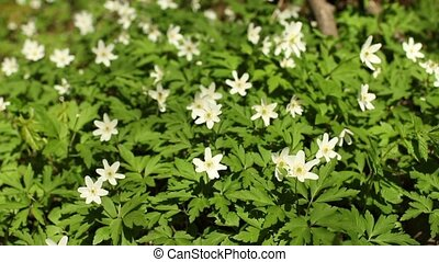 wood anemone - first spring windflower, wood anemone close...