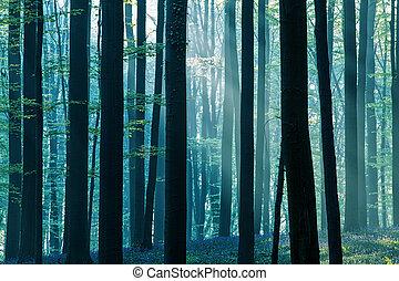 first sun light in a spring beech forest