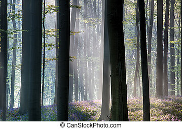 first sun light in a spring beech forest covered with bluebells