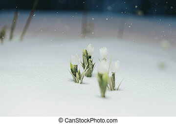 first white flowers under the snow. snowing