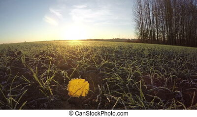 first white frost with yellow aspen leaf on farm wintering wheat crop sprouts