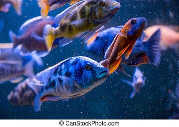 fische, in, ein, aquarium, fokus
