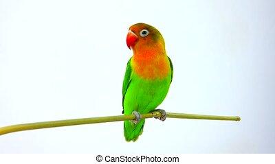 fischeri lovebird parrot on a white screen
