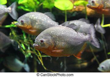 fish, ピラニア