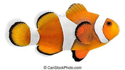 fish, 小丑, (amphiprion, ocellaris)