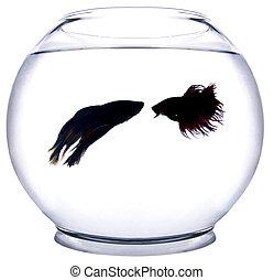 fish, 戦い