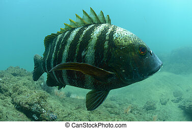fish, 水中, 海洋, 禁じられた, 太平洋, pargo
