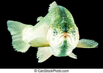 fish, 머리, 송어