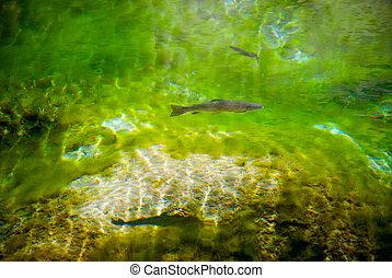 fish, 송어, 수영