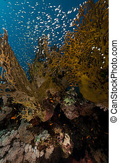 Fish and coral in the Red Sea.