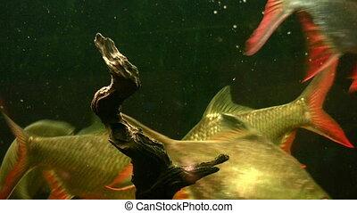 fish, aquarium