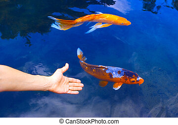 Big golden fish in clear blue water.