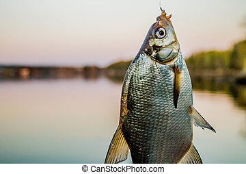 fish bream on the hook at shore