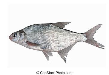 fish bream on white background