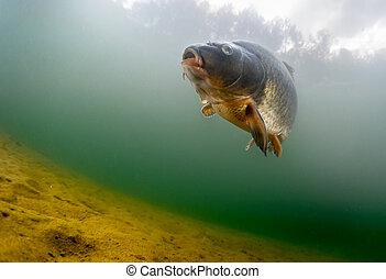 Carp of the family of Cyprinidae - Fish (Carp of the family ...