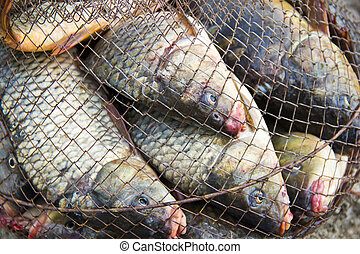 fish catch with many big grey carps