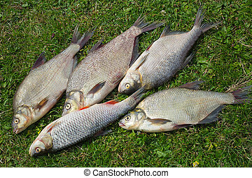 Fish caught in the river, lying on the grass..
