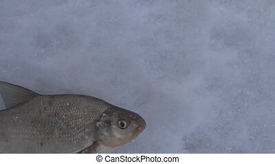 Fish caught in the winter from under the ice and beats on...