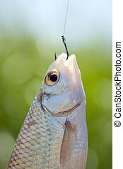 Fish caught on a hook - Head of a live fish caught on a...
