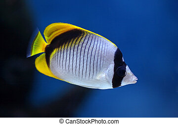 """Fish-butterfly """"Chaetodon lineolatus"""" with a yellow tail"""