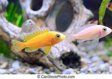 fish, cichlid-aulonocara., akvárium, törpe