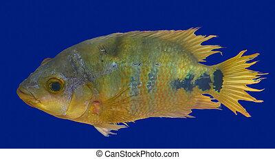 fish, cichlids, urophthalmus, cichlasoma