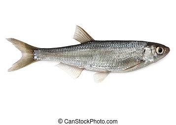 Common Bleak - Fish Common Bleak - isolated on white ...