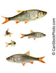 fish, deux, gardon