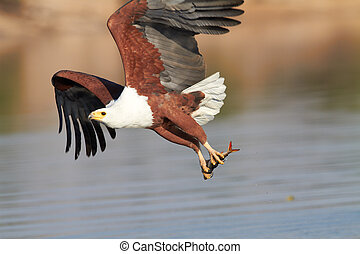 Fish Eagle hunting - Fish eagle attempting to catch a fish ...