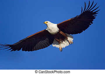 Fish Eagle - Close-up of the majestic African Fish Eagle...