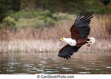 Fish Eagle Soaring Over Lake Naivasha