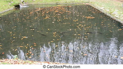 fish farm of rainbow trout in pond