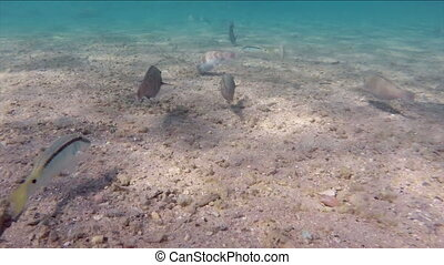 fish feeding on the sandy bottom of the Red Sea, Egypt