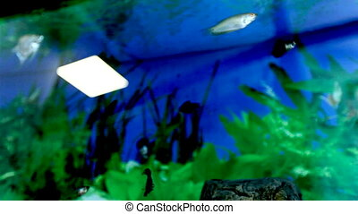 Fish float in an aquarium. Fish and green algae in the aquarium.