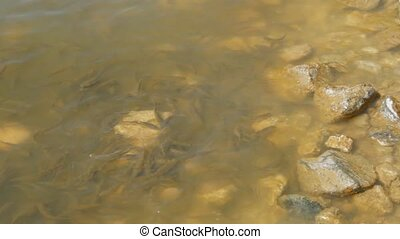 Fish fry floundering in muddy water on the shore