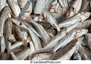 fish goatfish large number - fish goatfish huge amount of ...
