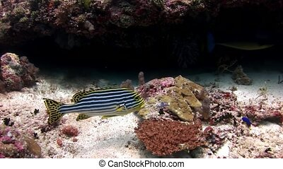 Fish grumbler grouse underwater on background of amazing seabed in Maldives.
