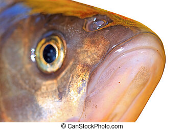 fish head on white background