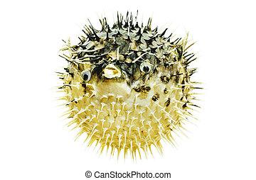 fish hedgehog - hedgehog isolate fish fish ichthyology...