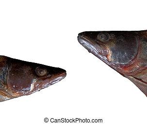 fish, huvuden, isolerat