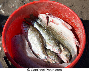 Fish in a bucket on a fishing trip