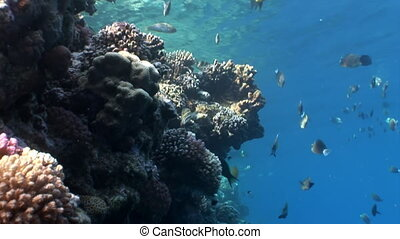 Fish in coral on clean blue background underwater Red sea....