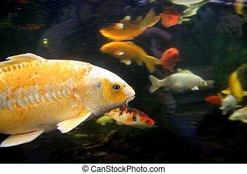 Fish in tank - Fish yellow one in fishtank
