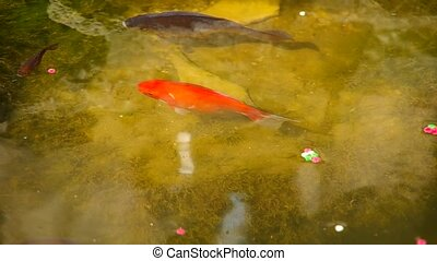 Fish in the garden pond
