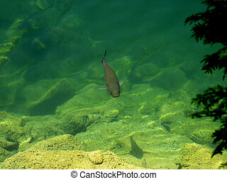 Fish in the lake - Summer day the fish is on the surface of ...