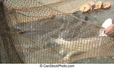 fish in the nets of fishermen 3